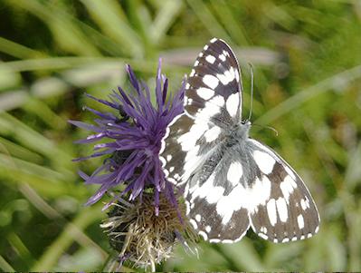 Schmetterling im Naturgarten